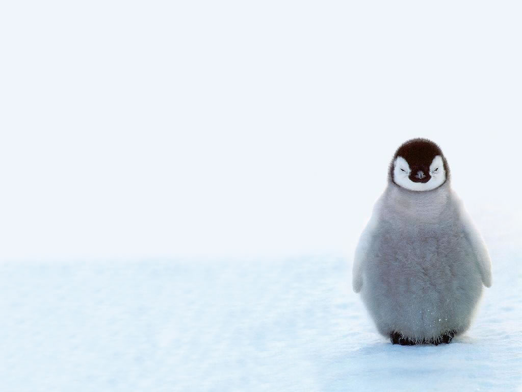 Cute%20Baby%20Penguins%2010578%20Hd%20Wallpapers%20in%20Animals%20%20%20Imagescicom