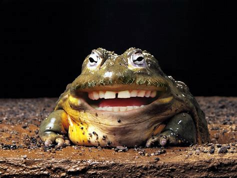 laghuing frog
