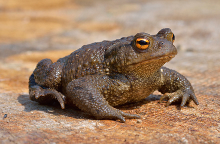 common_toad